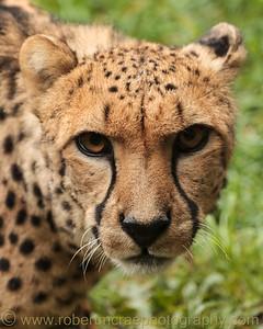 Male Cheetah at the Oregon Zoo.