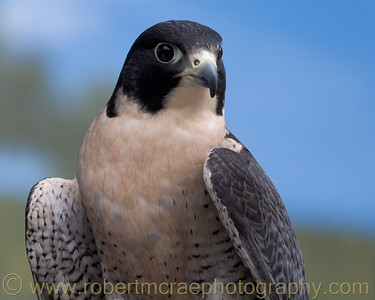 """Peregrine Falcon"" - Award Winner.  Taken at Oregon Zoo."