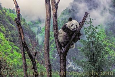 Panda Cub in a Tree