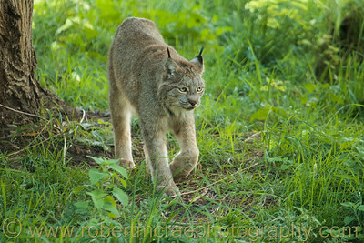 Canadian Lynx at Kamloops Wildlife Park.