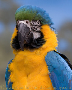 """Blue and Gold Macaw"" - Award Winner."