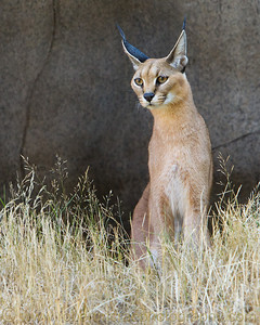 "Caracal female ""Peggy"" at the Oregon Zoo."
