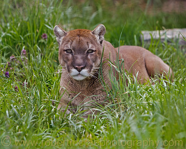 Male Mountain Lion at Great Cats World Park.