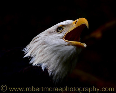 American Bald Eagle at Northwest Trek.