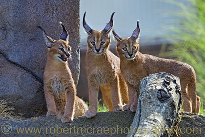Caracal Cubs at Oregon Zoo.