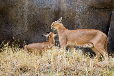 Caracal mom and cub at the Oregon Zoo.