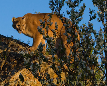 Mountain Lion at Tripple D Game Farm.