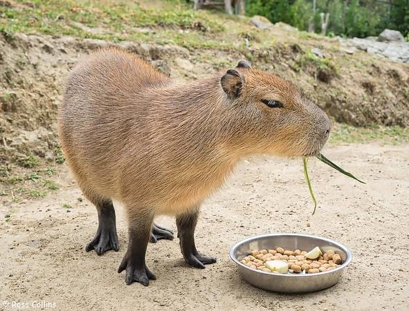 Capybaras at Wellington Zoo, 18 January 2020