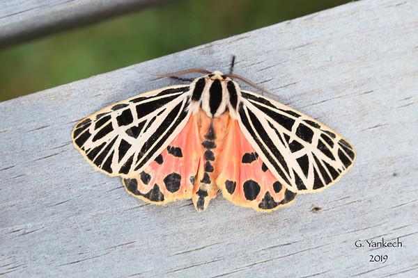 Virgin Tiger Moth, Apantesis virgo