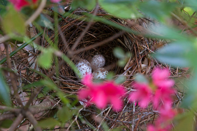 3 eggs observed in nest on April 6th.