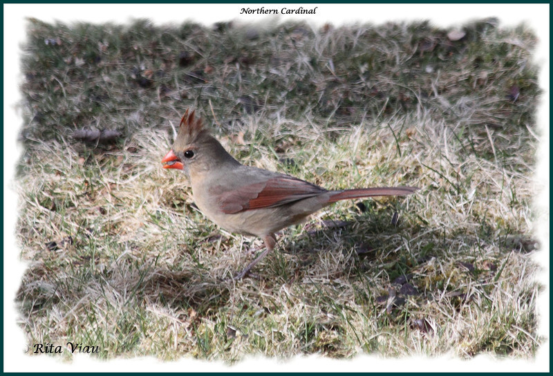 Northern Cardinal (female) - April 15, 2012 - Lower Sackville, NS
