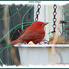 Summer Tanager (male) - May 5, 2007 - Dartmouth, NS
