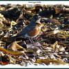 American Robin - January 10, 2009 - Hartlen Point, Eastern Passage, NS