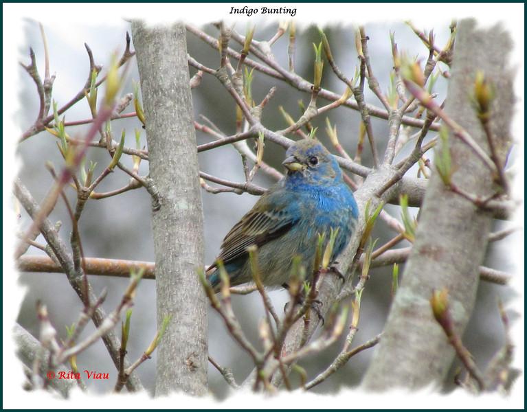 Indigo Bunting - May 7, 2012 - Halifax Public Gardens , NS