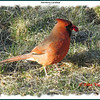 Northern Cardinal (male) - April 6, 2012 - Lower Sackville, NS