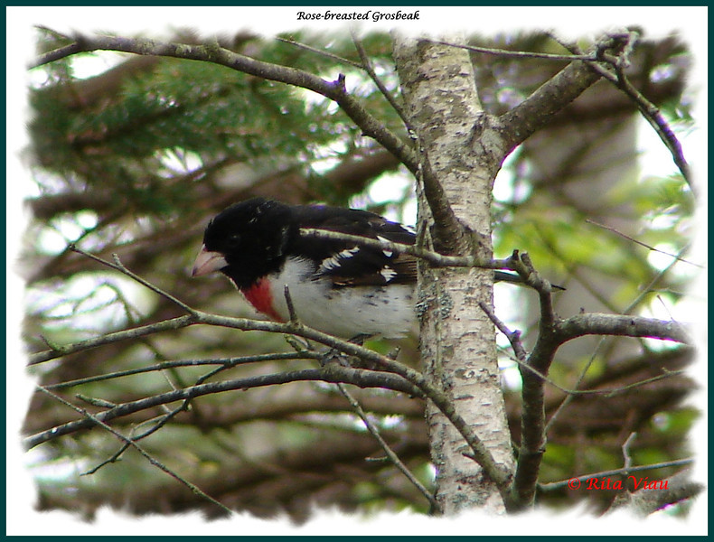 Rose-breasted Grosbeak (male) - May 16, 2010 - Lower Sackville, NS