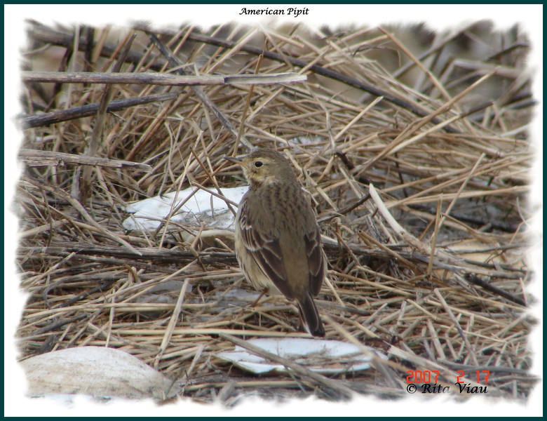 American Pipit - February 17, 2007 - Hartlen Point, Eastern Passage, NS