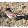 Northern Cardinal (female) - April 14, 2012 - Lower Sackville, NS