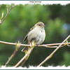 Indigo Bunting - May 11, 2012 - Halifax Public Gardens, NS