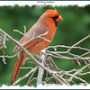 Northern Cardinal (male) - Lower Sackville, NS