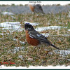 American Robin - March 27, 2010 - Smiley Provincial Park, NS