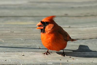 Cardinal -- DSC_8479