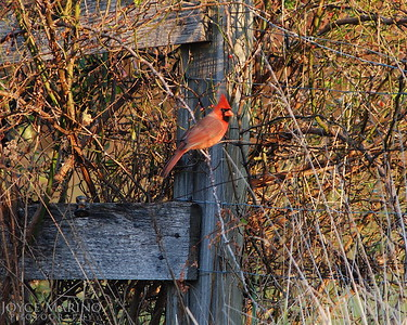 Cardinal resting on fence post -- DSC_0719