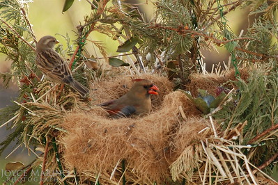 Female Cardinal, # DSC_0722-1R