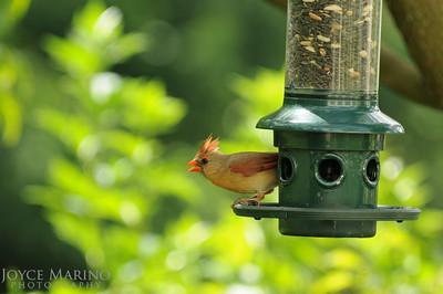 Female cardinal -- DSC_5492