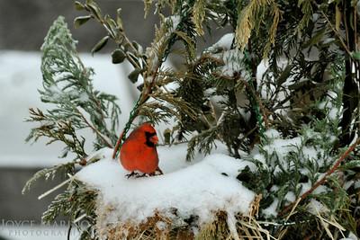 Cardinal enjoying a morning treat in the snow -- DSC_3357-1R