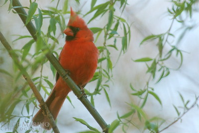 Cardinal on foggy morning -- DSC_0212
