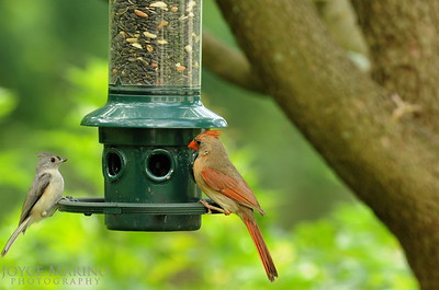 Cardinal & Titmouse at feeder -- DSC_5382