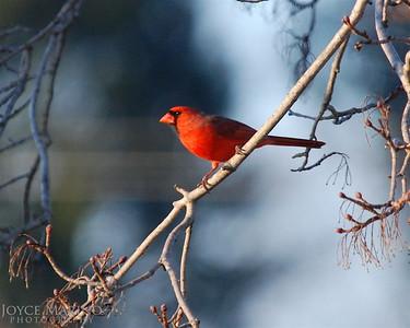 Cardinal -- DSC_0018-1