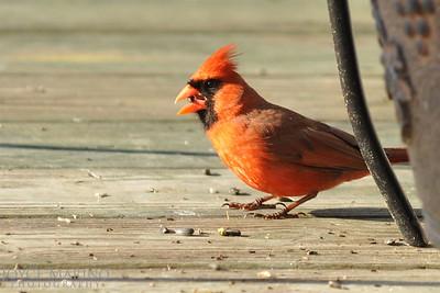 Cardinal -- DSC_8433