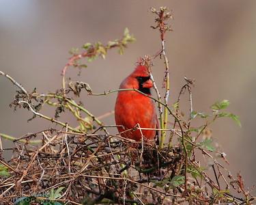 Cardinal -- DSC_0788