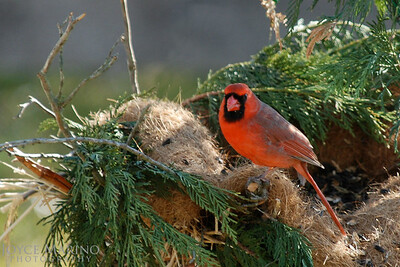 Male Cardinal in nest, # DSC_0112-1R