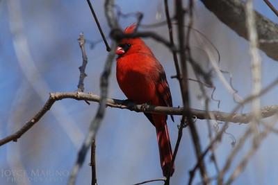 Cardinal -- DSC_0023