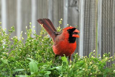 Cardinal -- DSC_9750