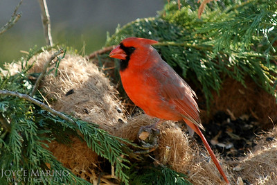 Male Cardinal in nest, # DSC_0115-2R,