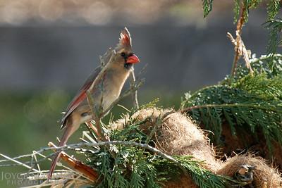 Female Cardinal, # DSC_0023-2R