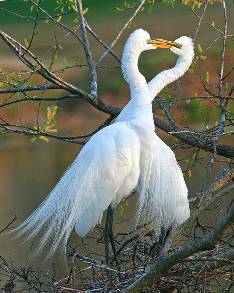 Courtship II..... Great Egrets in mating dance; was just good luck that I captured the heart shape of their heads!