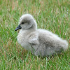 Cygnet. ie baby Black Swan.