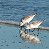 Two Sanderlings.