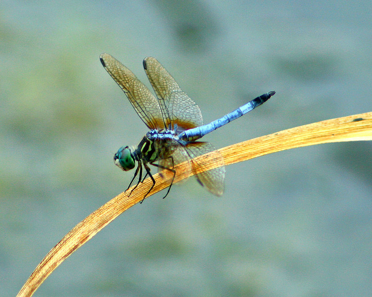 Blue Dragonfly on grass