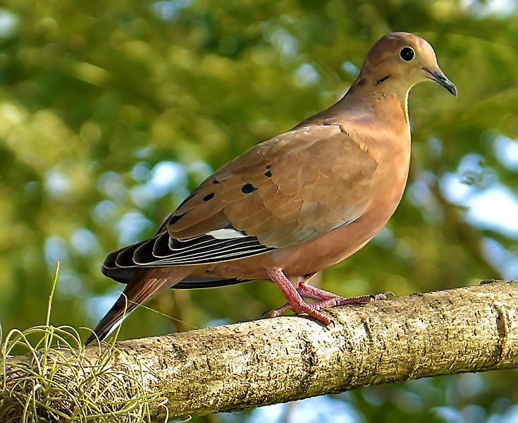 Zenaida dove (Zenaida aurita), Jamaica, by Ted Lee Eubanks