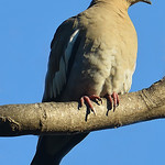White-winged dove (Zenaida asiatica), US, by Ted Lee Eubanks
