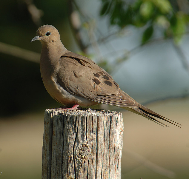 Mourning dove (Zenaida macroura), US, by Ted Lee Eubanks