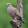 Eared dove (Zenaida auriculata), Grenada, by Ted Lee Eubanks