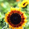 Bees feed on sunflowers at The Farm Stand on Bedford Road in Carlisle.  (SUN/Julia Malakie)