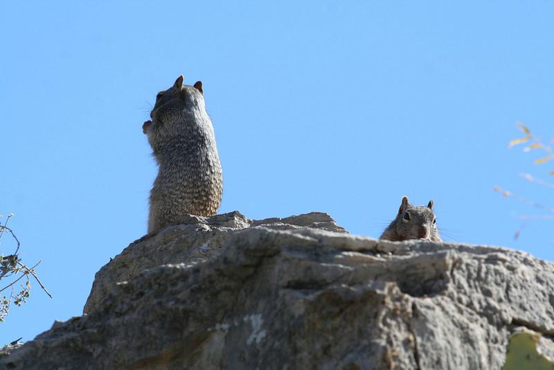 Spotted Ground Squirrels